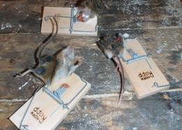 mus i fælde på vort lager i Skovstuen Pil