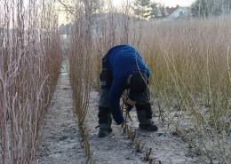 høsting av pil
