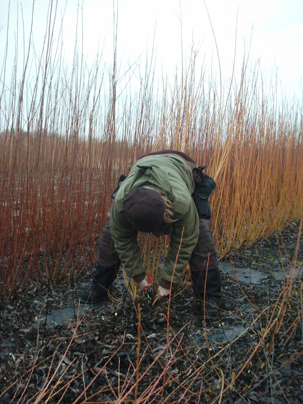 Harvesting of willow, høsting av pil