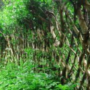 skovstuen pil, levende pil i hagen, belgisk gjerde