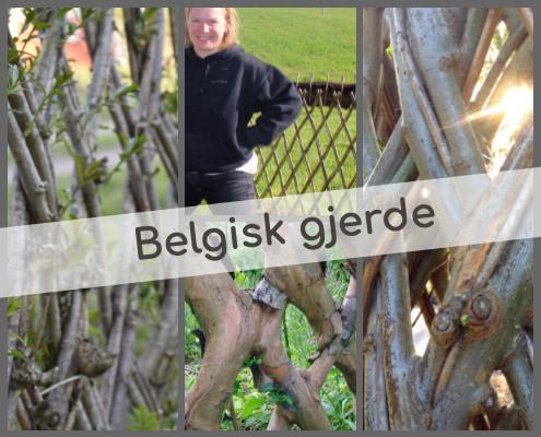 Levende pil, belgisk gjerde, pilegjerde